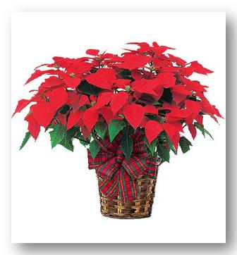 Poinsettia Plant1